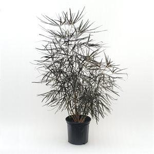 ARALIA Elegantissima 10''